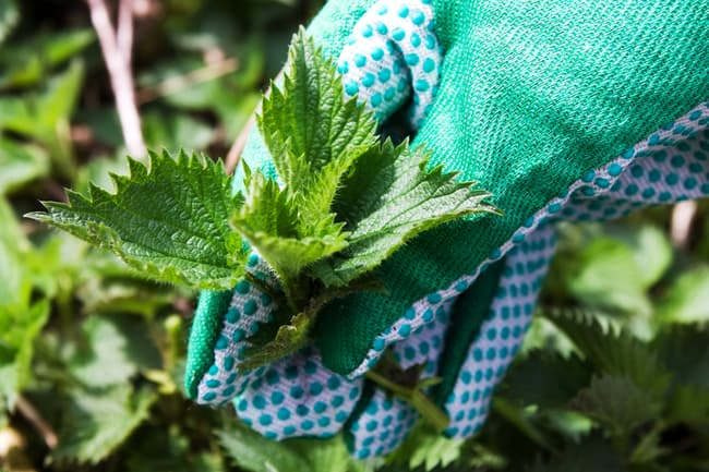 gloved hand holding nettle plant