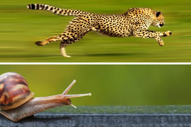 photo of snail verses cheetah