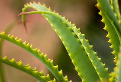 Extreme close up of aloe plant