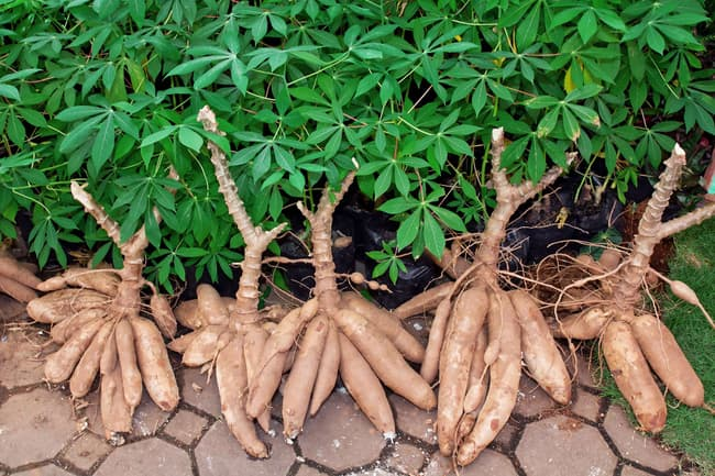 photo of cassava
