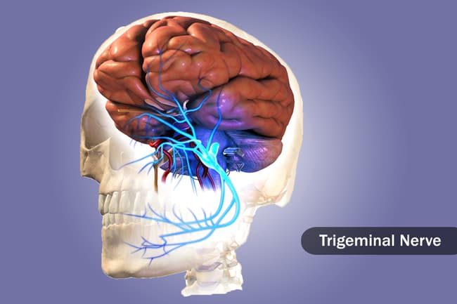 illustration of trigeminal nerve in brain