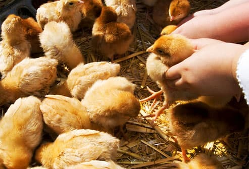 Child playing with baby chicks