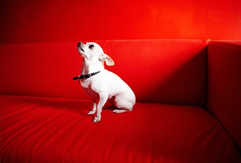 white chihuahua on red sofa