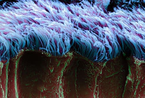 SEM Image Of Bronchial Cilia