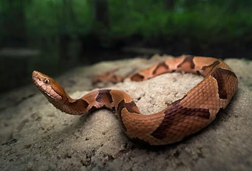 Pictures: Snakebite Symptoms and Treatment