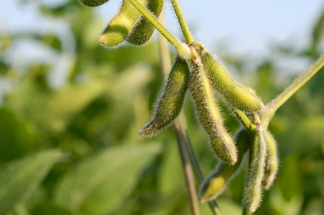 photo of soybeans on plant