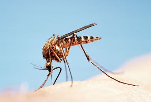 closeup of mosquito