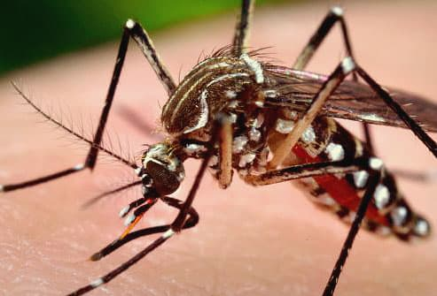 Female mosquito feeding on human skin