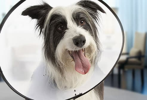 Dog Wearing Anti-Lick Cone