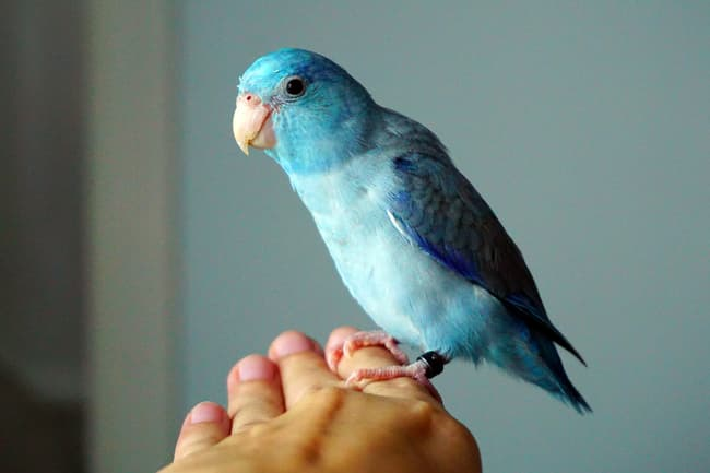 photo of pet parakeet on finget