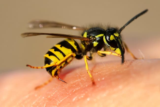 wasp on skin