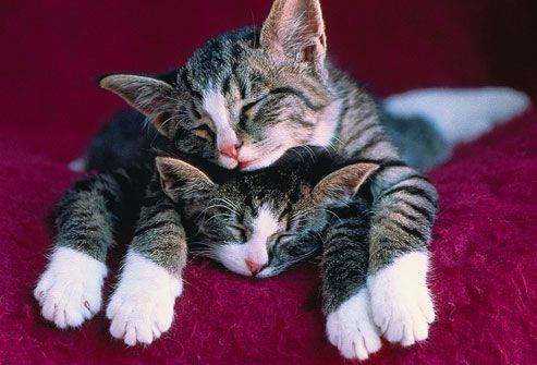 Two kittens with white paws sleeping