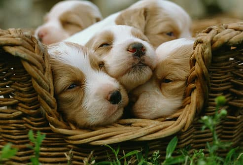 Basket Full of Cute Puppies