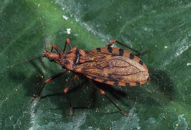 Dangerous 'Kissing' Bug Marches North in U S