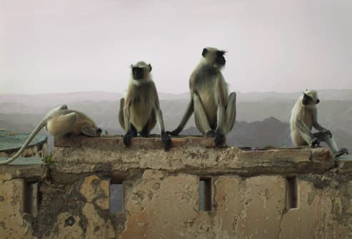 Monkeys On Temple Wall