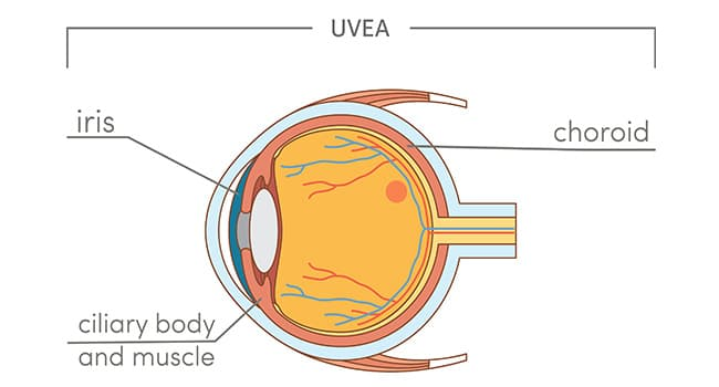uvea illustration