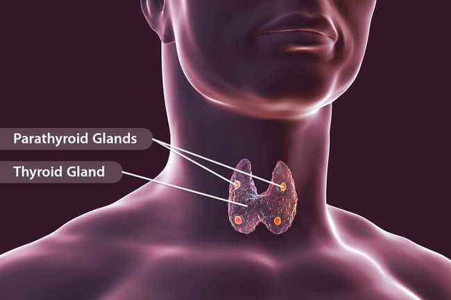 photo of thyroid and parathyroid glands