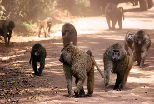 babboons in africa