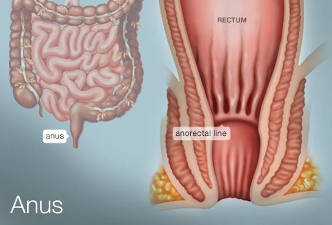 The Anus Human Anatomy Picture Definition Conditions More
