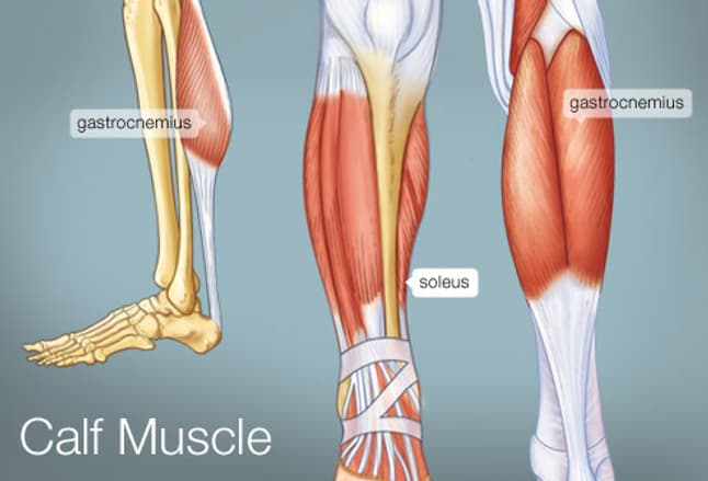 the calf muscle (human anatomy): diagram, function, location, Muscles