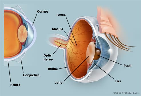 The Eyes Human Anatomy Diagram Optic Nerve Iris Cornea Pupil