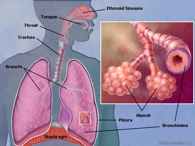 The lungs human anatomy picture function definition conditions picture of the human lungs ccuart Images