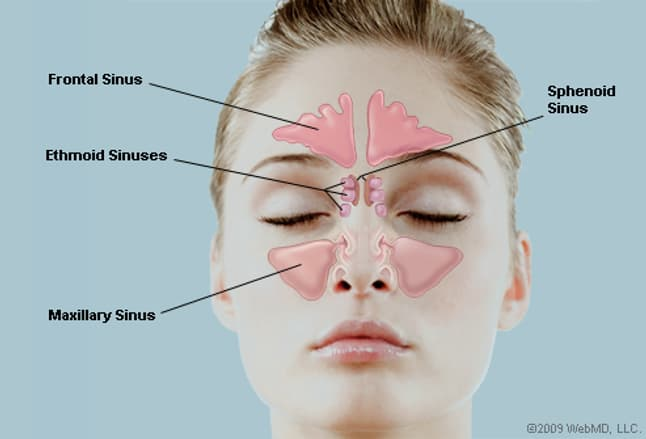 Anatomy of sinus cavities
