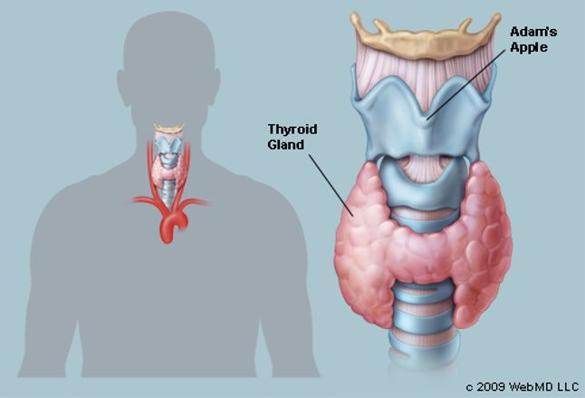 the thyroid human anatomy picture function definition location