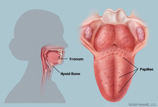 The Tongue (Human Anatomy): Picture, Function, Definition, Problems ...