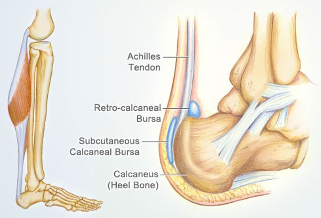 Achilles Tendon Human Anatomy Picture Definition Injuries Pain