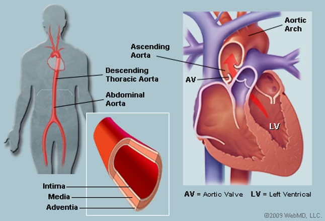 the aorta (human anatomy): picture, function, location, and conditions, Human Body