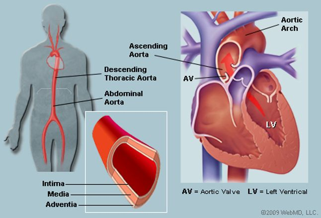The Aorta Human Anatomy Picture Function Location And Conditions