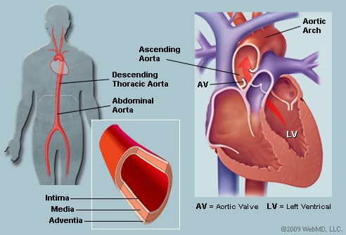 The Aorta  Human Anatomy   Picture  Function  Location