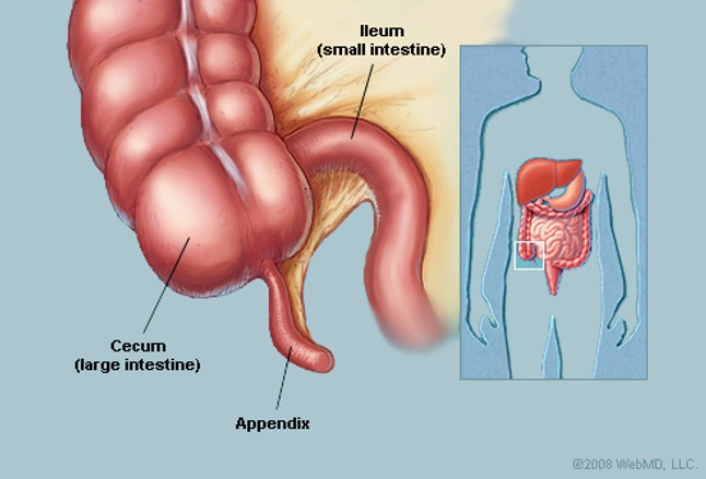 Appendix Anatomy Appendix Picture Location Definition Function