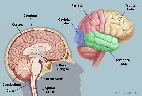 brain (human anatomy) picture, function, parts, conditions Printable Diagram of the Brain