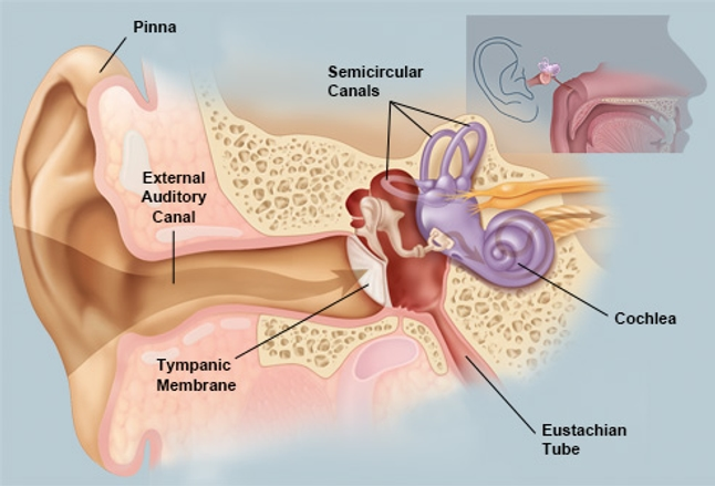 Picture of the ear ear conditions and treatments anatomical structures of the human ear ccuart Choice Image