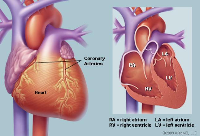human heart anatomy diagram function chambers location in body