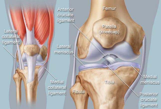 Image result for knee anatomy