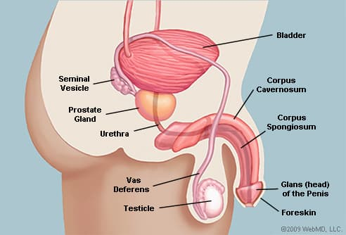 Penis anatomy diagram
