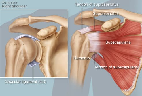 Illustration of rotator cuff