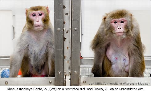 Photo of Rhesus monkey study on restricted diets