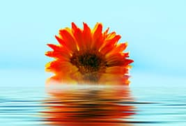 flower floating on water